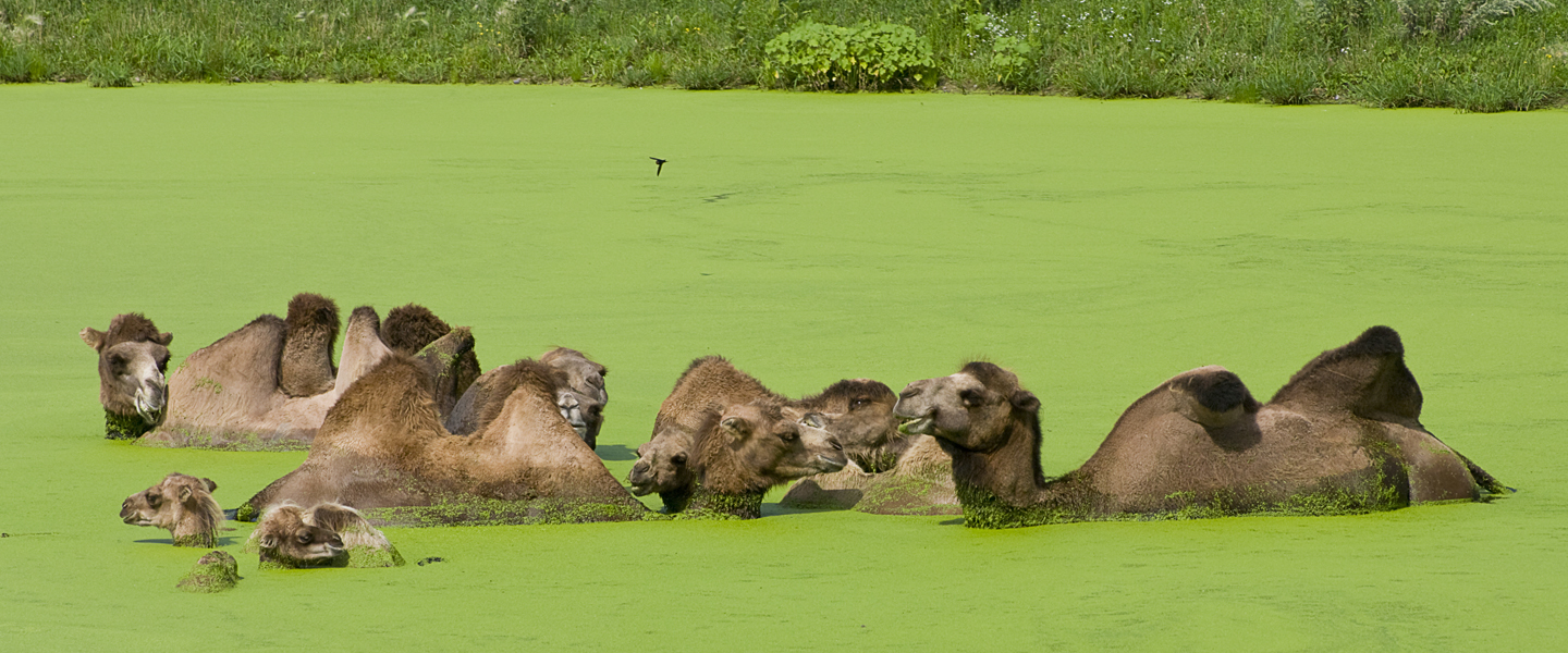 bactrian-camels-in-algae-pond-iStock134834963-1440x600