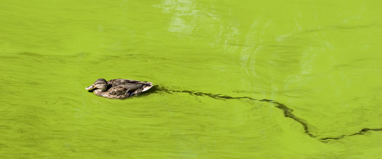wild-duck-in-green-lake-iStock112264688-1440x600